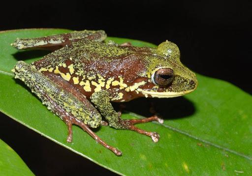 Loài ếch có tiếng kêu như dế